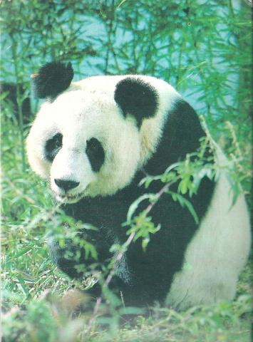 A panda enjoying nature.