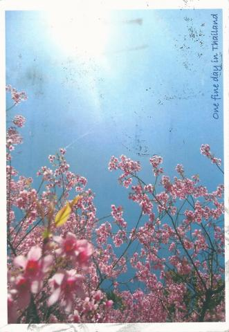 "Pink flowers in front of a blue sky. On the side it is written ""One fine day in Thailand"". She have written ""his postcard was created by myself. I took this photo when I traveled with my friend last January. I hope you love it."""