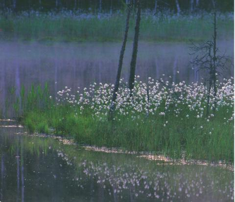 Marsh Labrador tea flowers at the waterfront of a lake in Finland.
