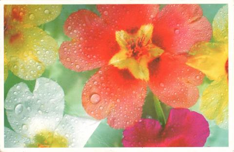 Colourful flowers with raindrops on their petals.